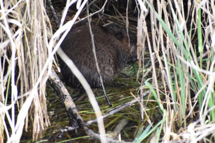 Beaver in cave