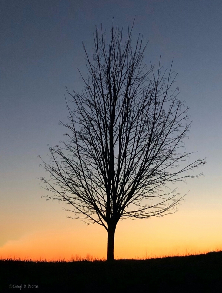 Silhouette of leafless maple tree against sunset afterglow