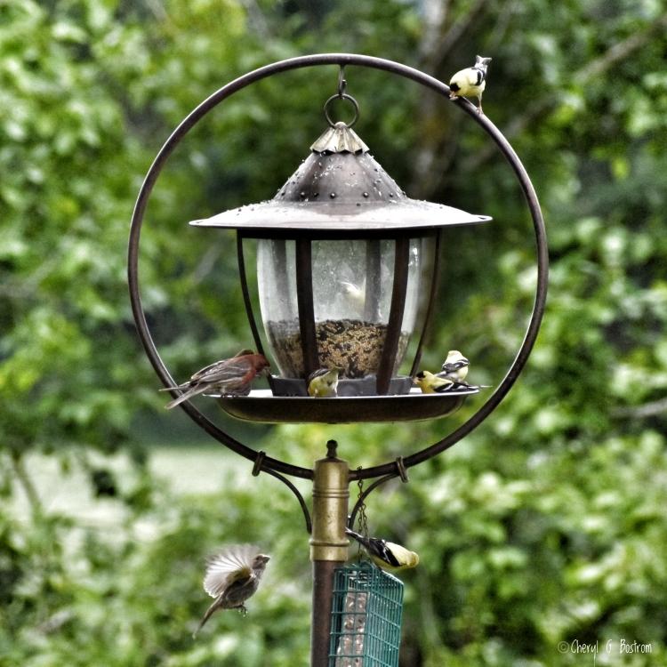 PNW wild birds eat at bird feeder