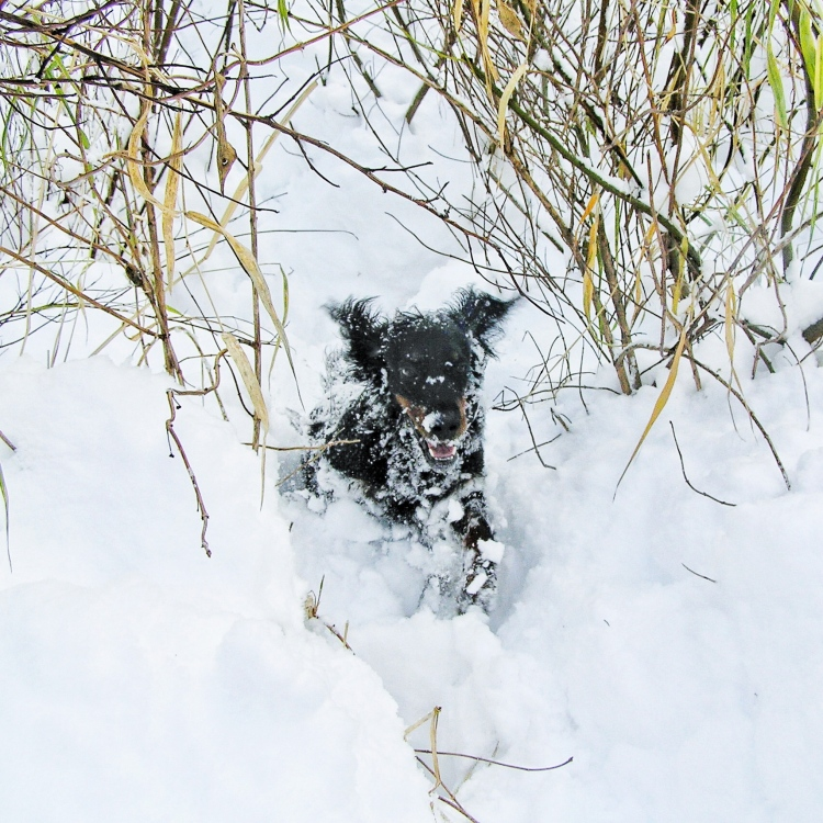 Gordon Setter in snow