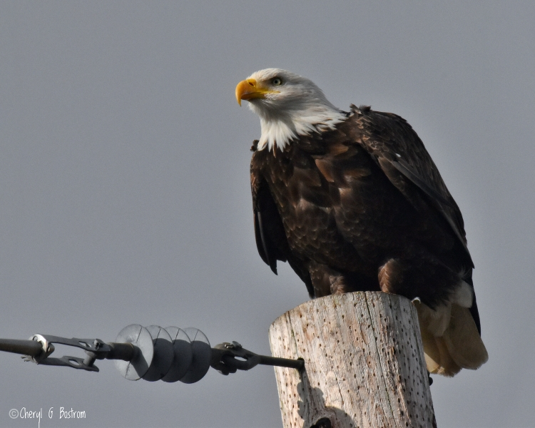 Intensely-focused-bald-eagle-on-pole
