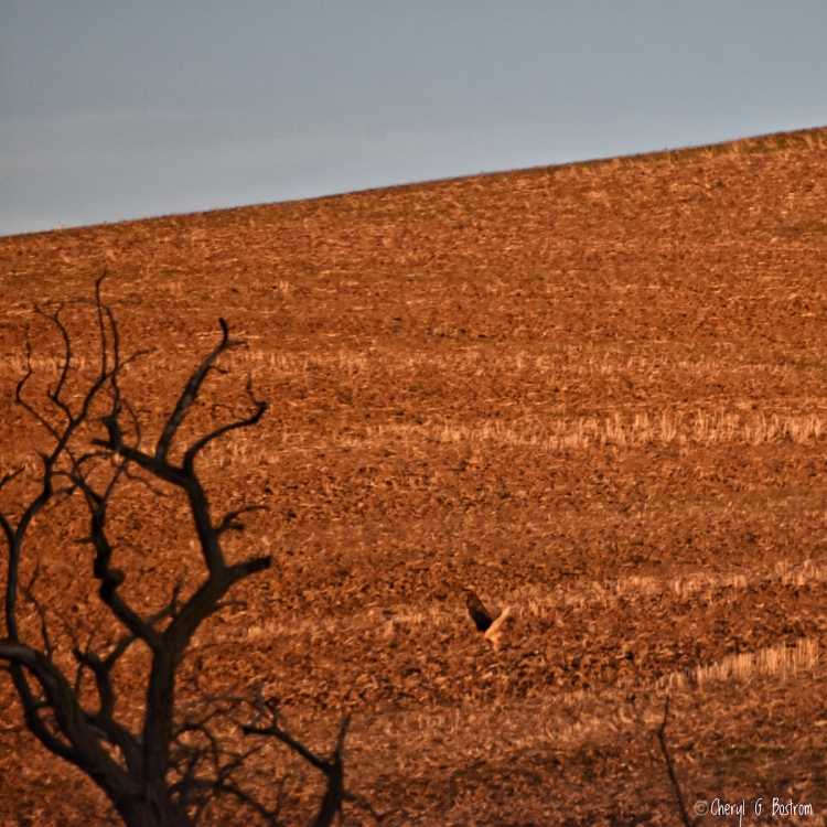 Redtail hawk flies toward bare willow snag over stubble field
