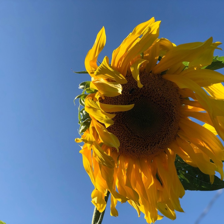 Sunflower at end of summer