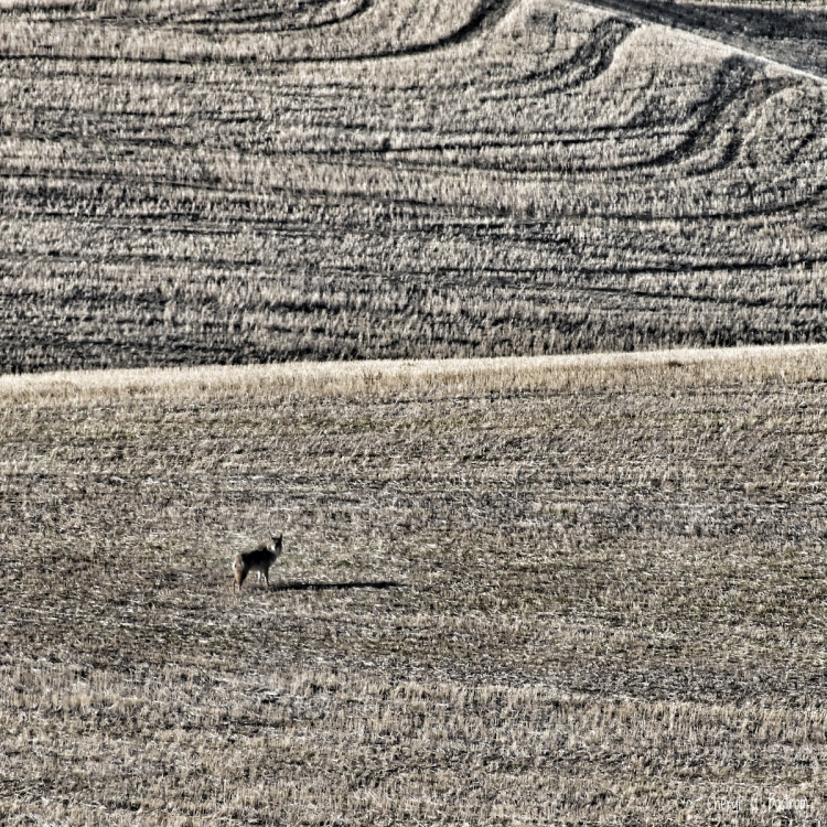 Coyote in wheat stubble, wearing heavy winter coat