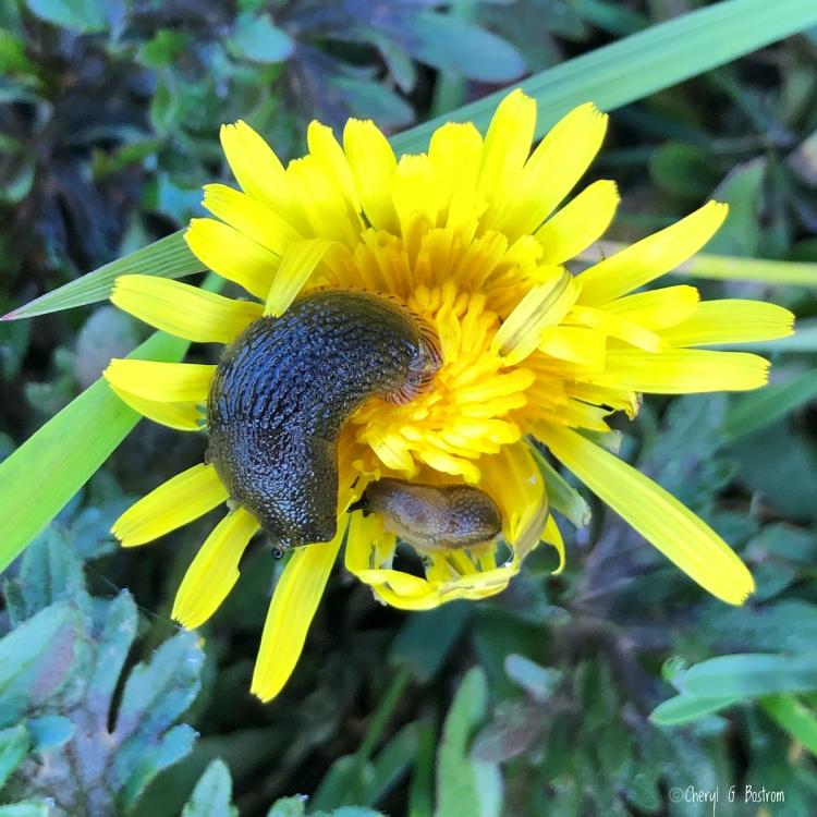 Slugs-devour-dandelion