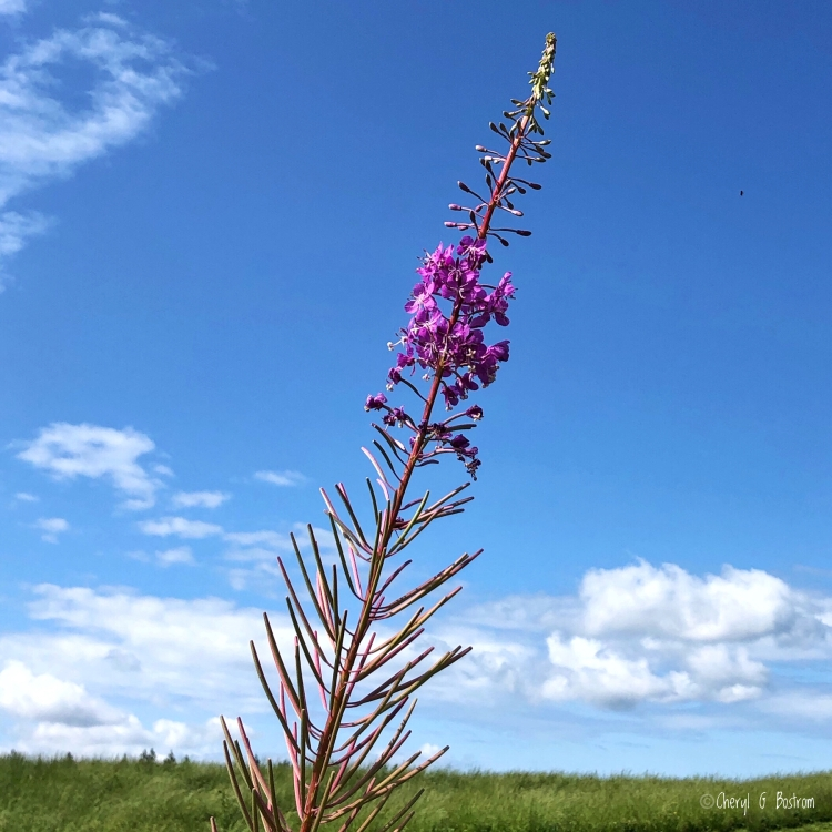 Fireweed blossoms march up the stem on a blue sky day.