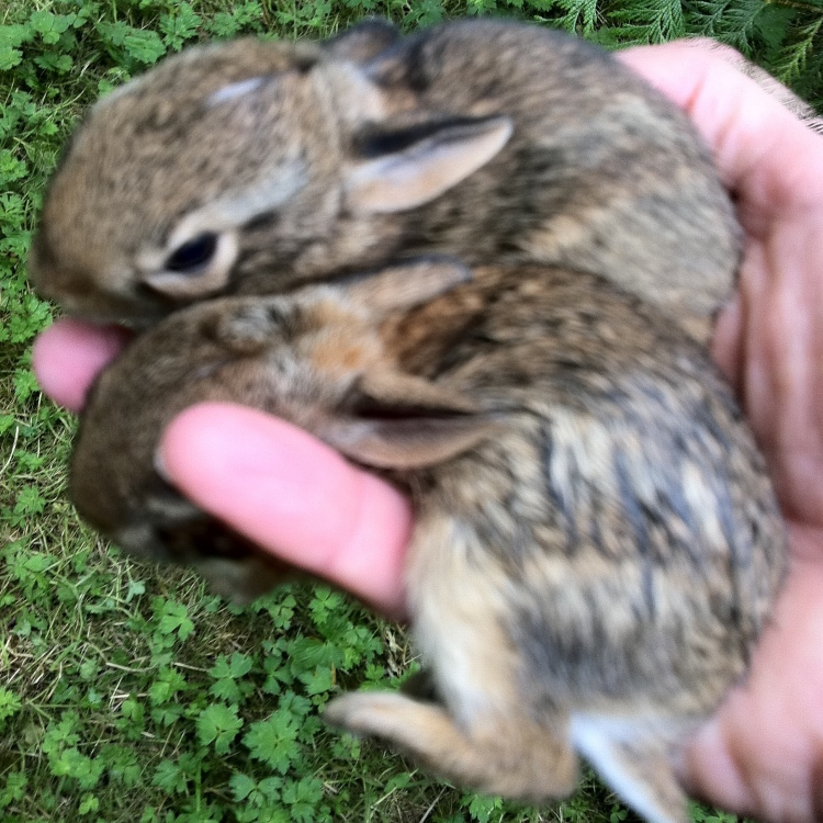 Two weanling cottontails held in one hand.