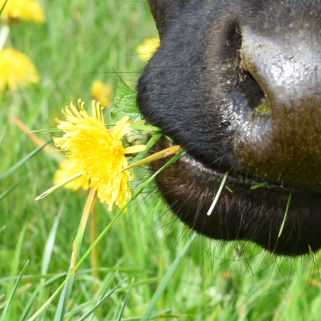 chew dandelion
