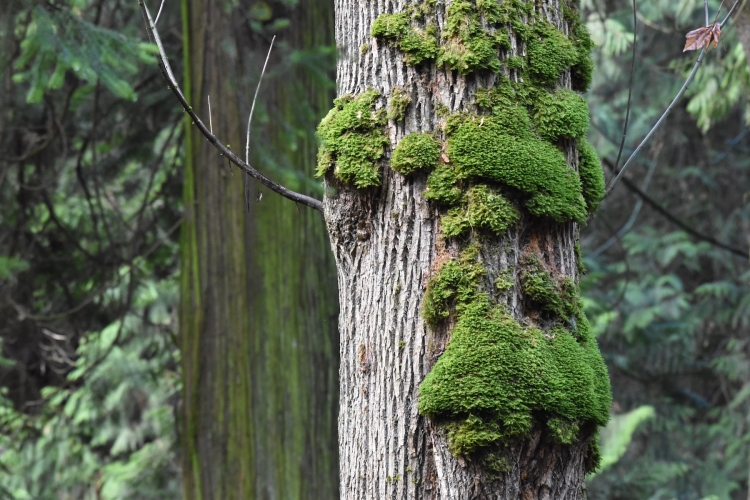 moss-covered maple tree