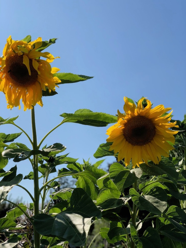 Wilting sunflowers against blue sky
