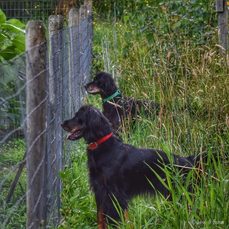 Two Gordon Setters look through garden fence