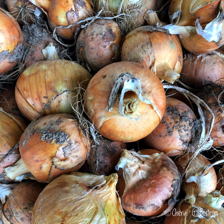 bushel of onions, dried and dirty