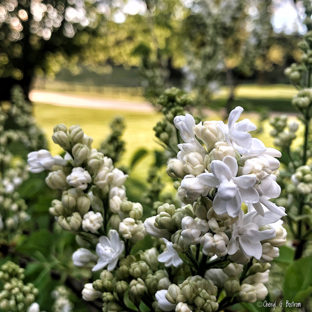 White-lilac-buds-break-into-fragrance