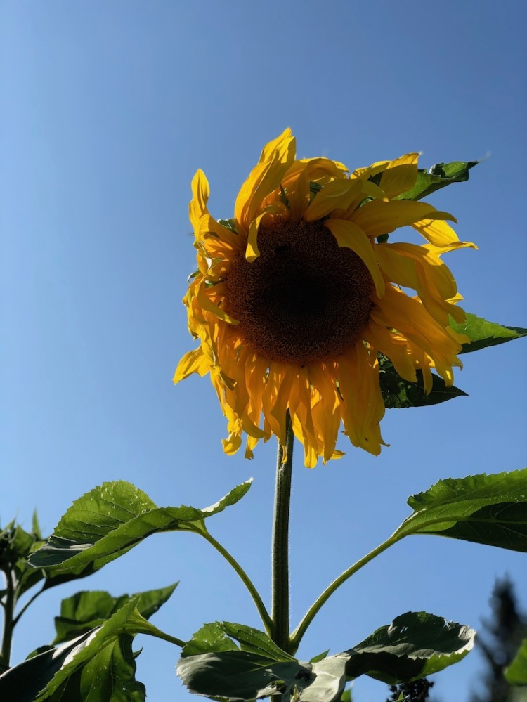 Mature, wilting sunflower