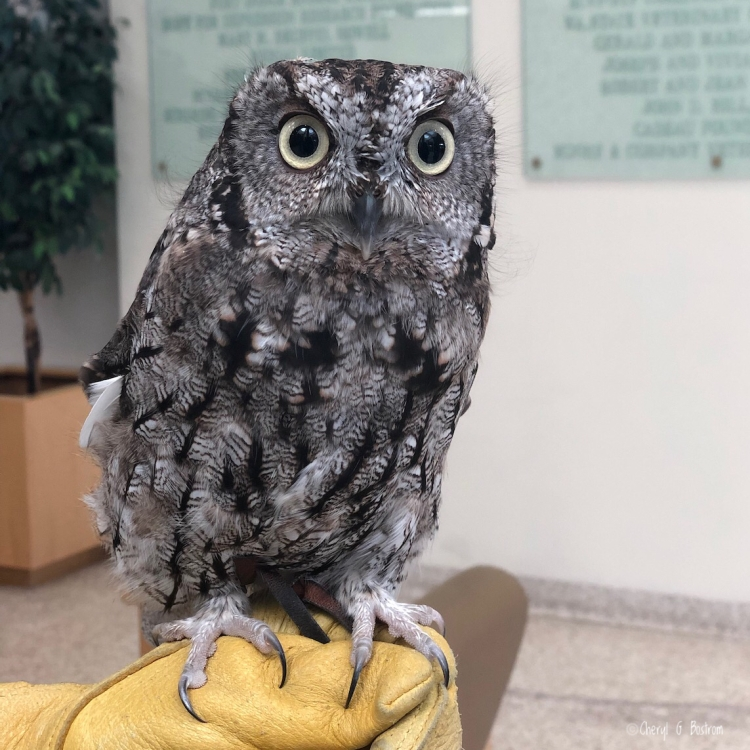 Western Screech Owl Kotori looks into camera from handler's glove