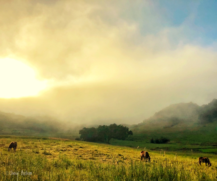 Grazing horses, stealthy coyote and fog over setting sun