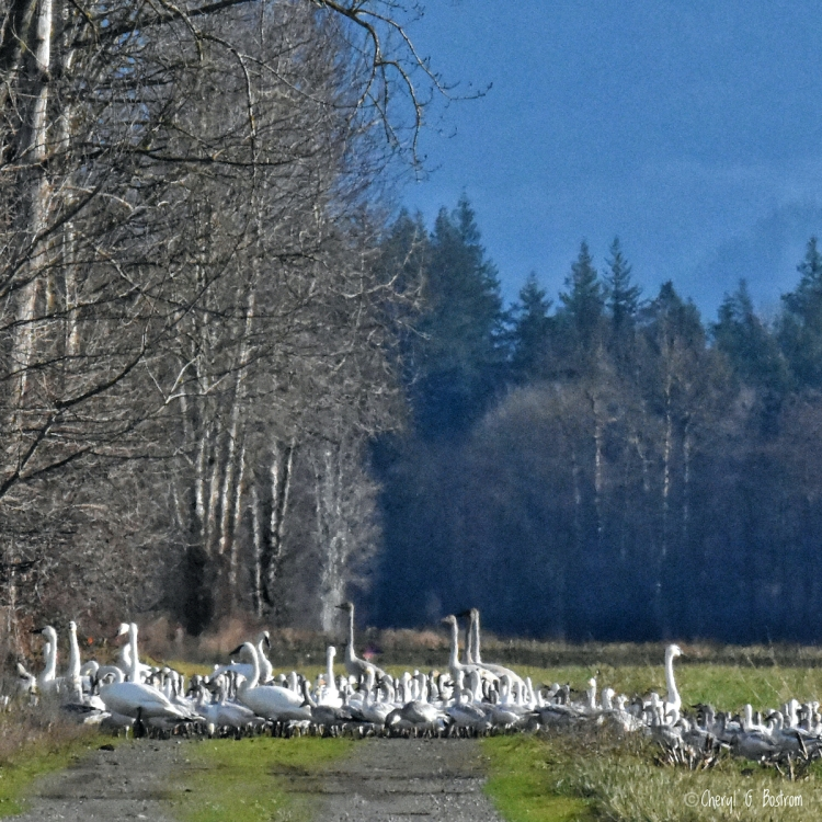 Swans and geese mingle in country field