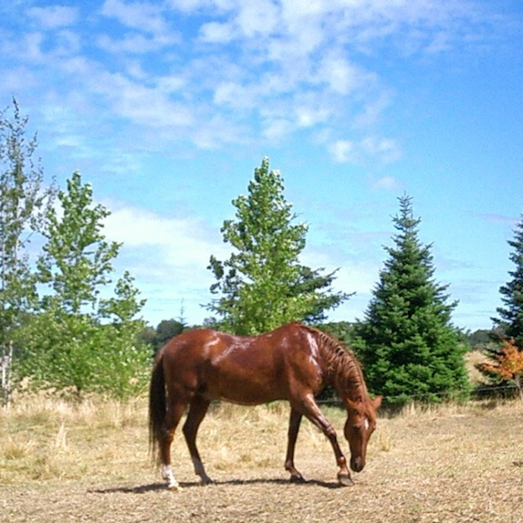 Sorrel gelding Wild Weed pawing ground