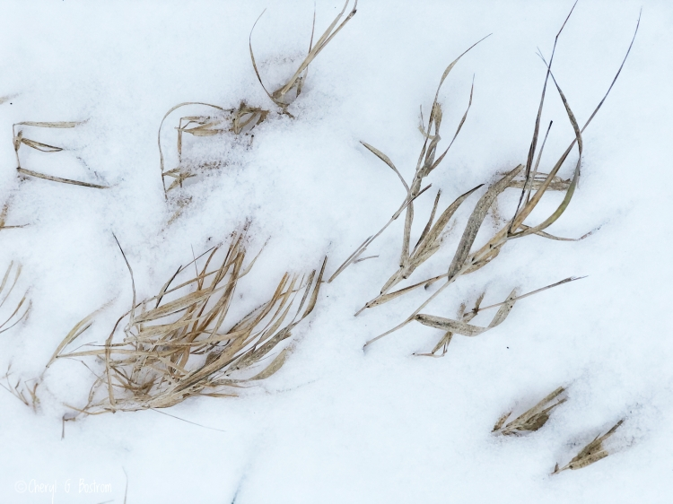 Dead-grass-pokes-from-snow