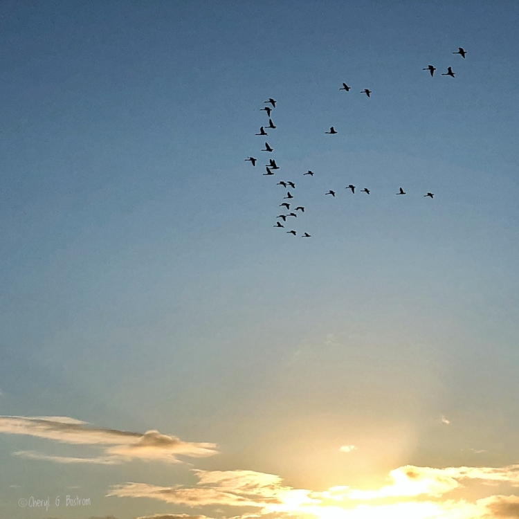 Flock of Trumpeter swans flies above the PNW sunset