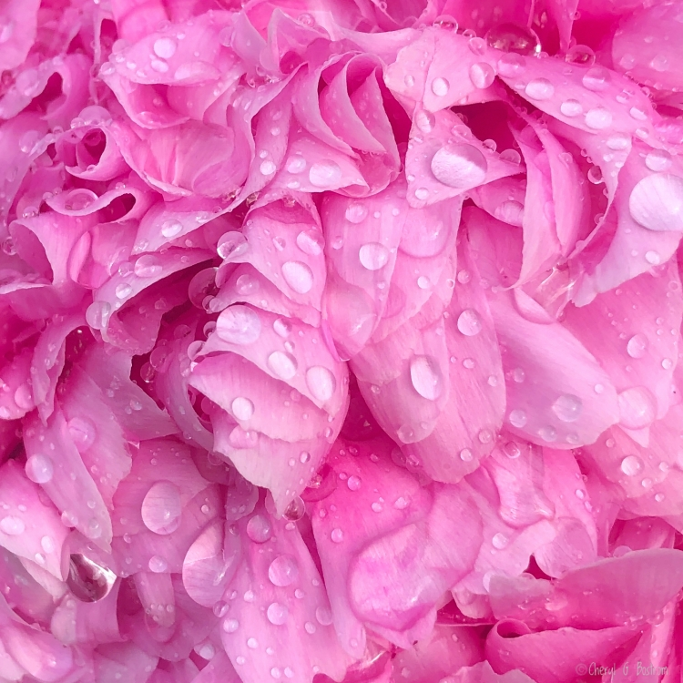 Fresh-start-raindrops-on-peony-petals