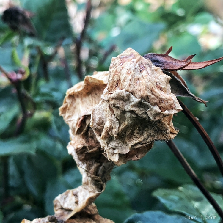 withered, brown, papery rose bloom on stem