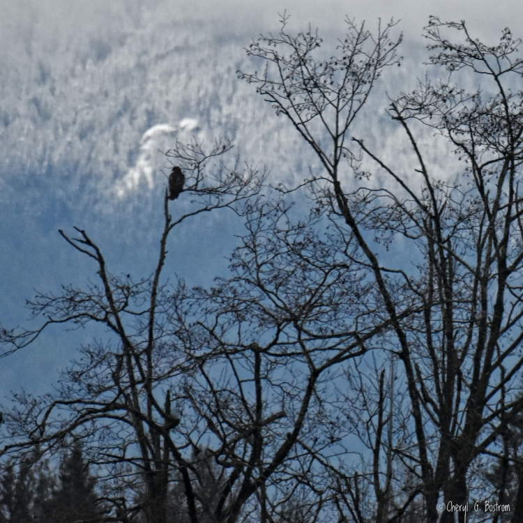 Hawk-waits-in-bare-tree-near-snowy foothills