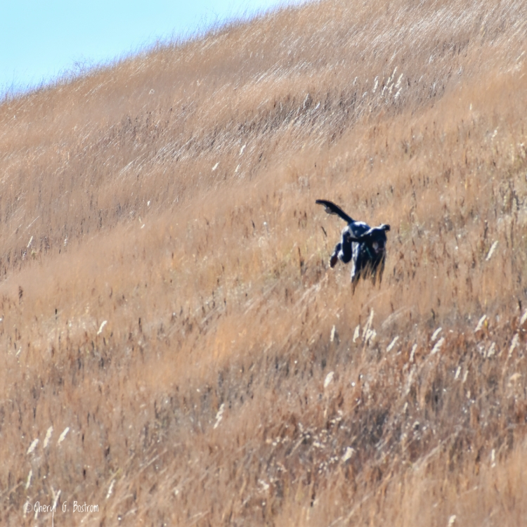 Gordon setter lopes through tall golden grass