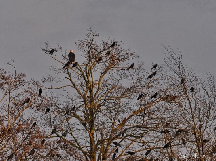 Crows-fill-tree-where-eagle-perches