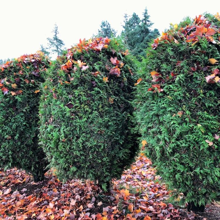 Autumn leaves stuck in shrubs