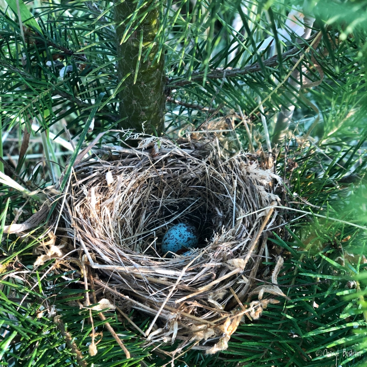 White-crowned sparrow nest with one egg in Douglas fir
