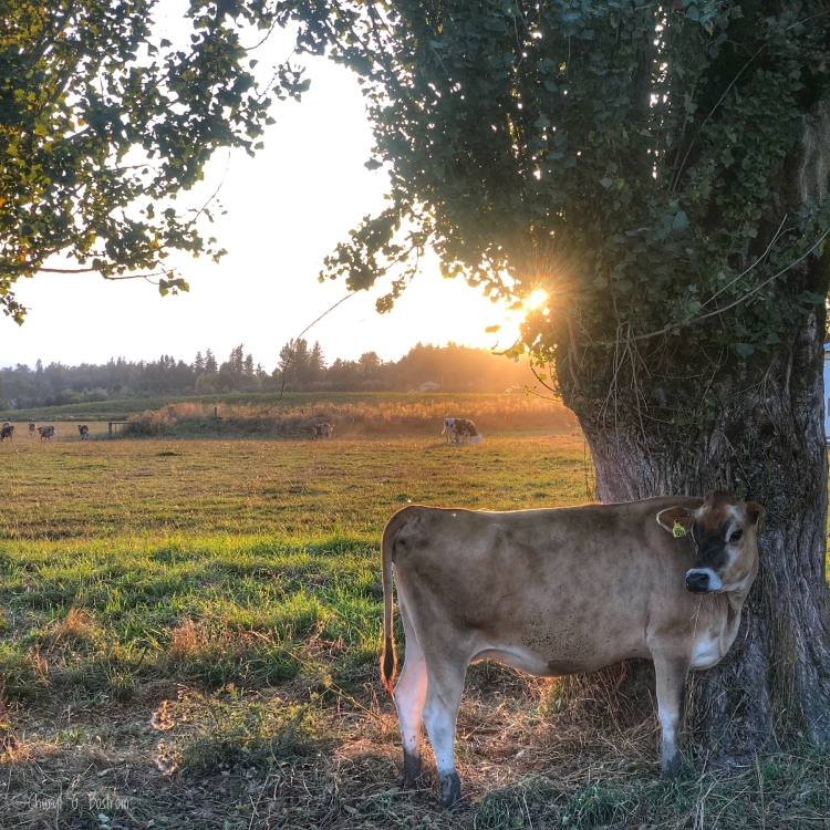 Cow stands behind poplar tree as sun sets