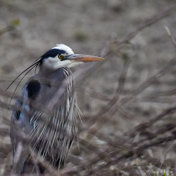 Great-blue-heron-waits-in-reeds
