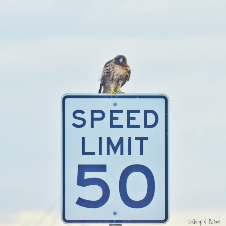 Hawk-perches-on- road-sign
