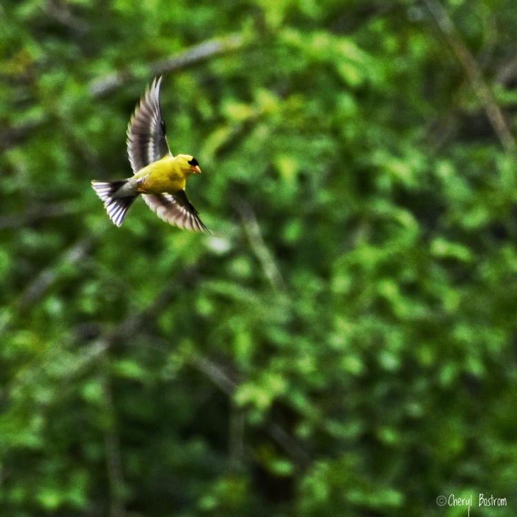 Goldfinch with wings spread in flight
