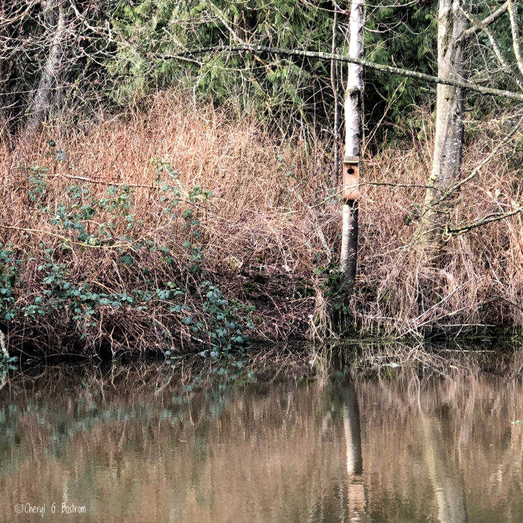 Wood duck box hangs from alder tree over pond