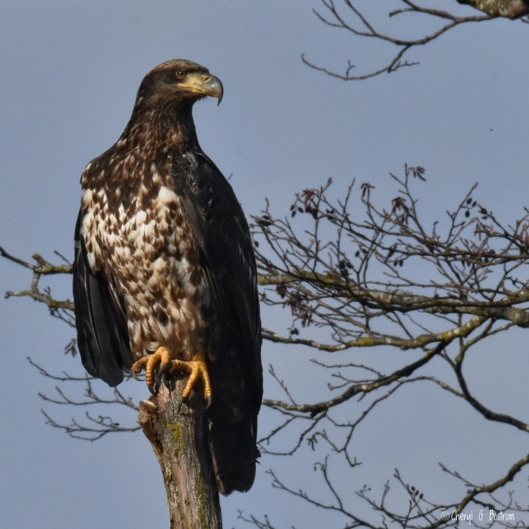Stunning subadult bald eagle perches on tree snag