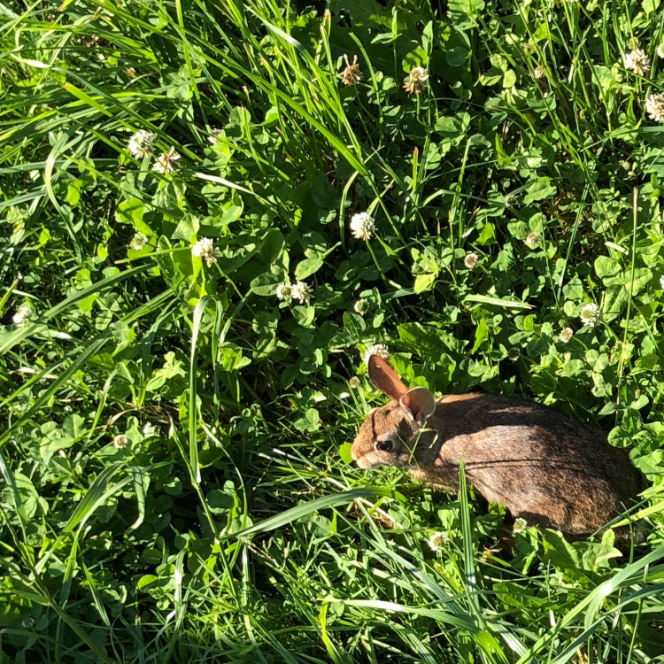 Young wild cottontail rabbit in clover
