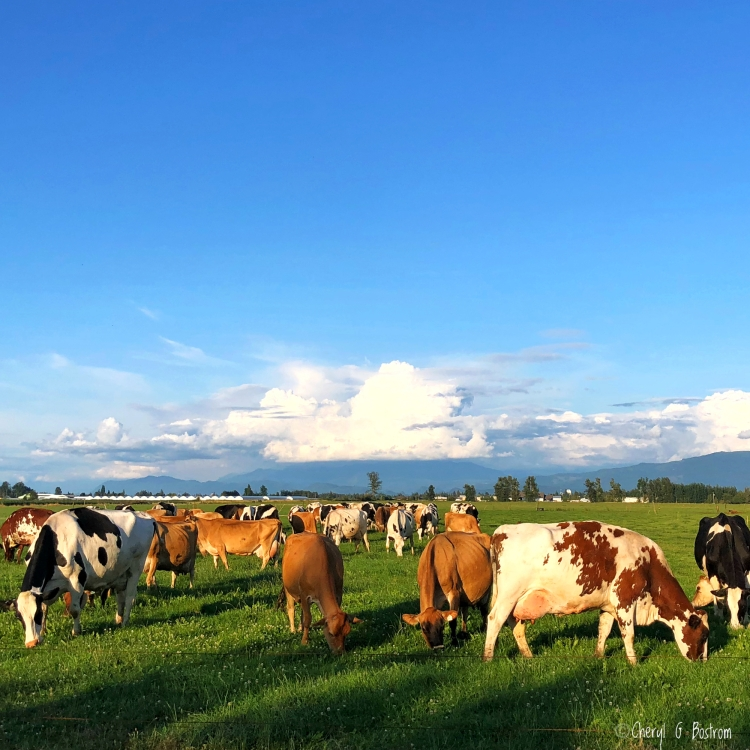 Dairy cows graze in late afternoon sun