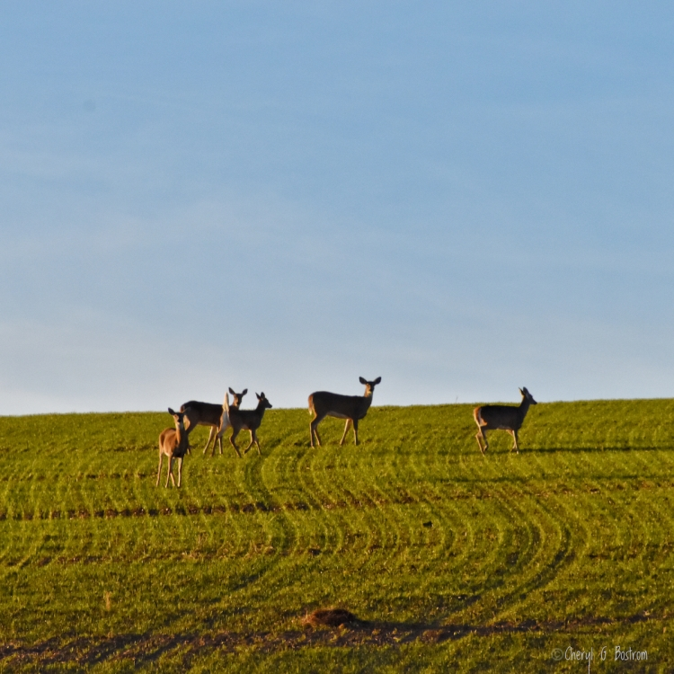 Herd of whitetail does in wheat field