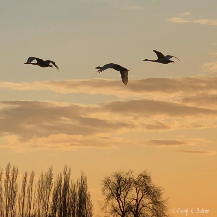 Three trumpeter swans fly over trees in golden light