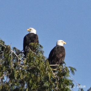 Two bald eagles perched atop cedar tree look opposite directions