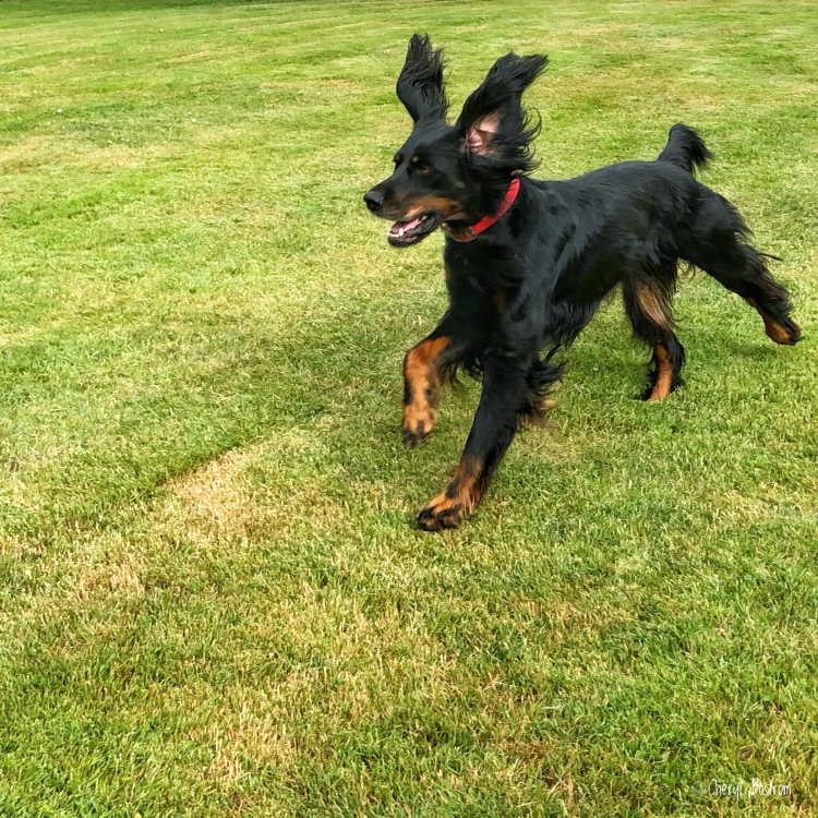 Gordon Setter running with ears flopped upright