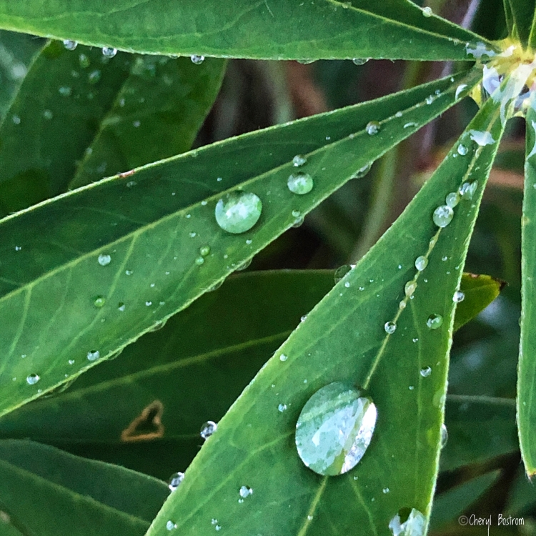 Raindrops magnify lupine leaves
