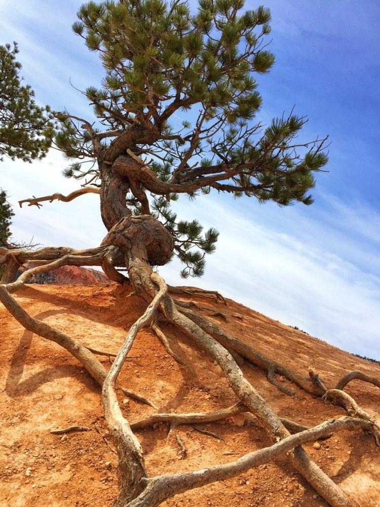 Exposed roots of twisted pine tree intersect on red earth