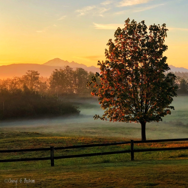Sunrise warms changing maple leaves on tree in pasture with Mt. Baker