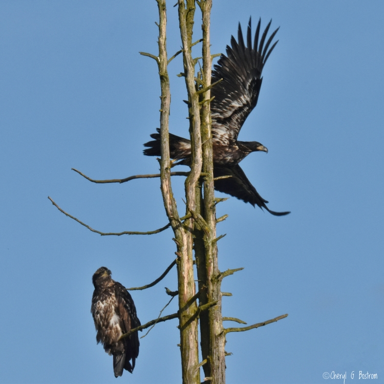 Two juvenile bald eagles in dead tree