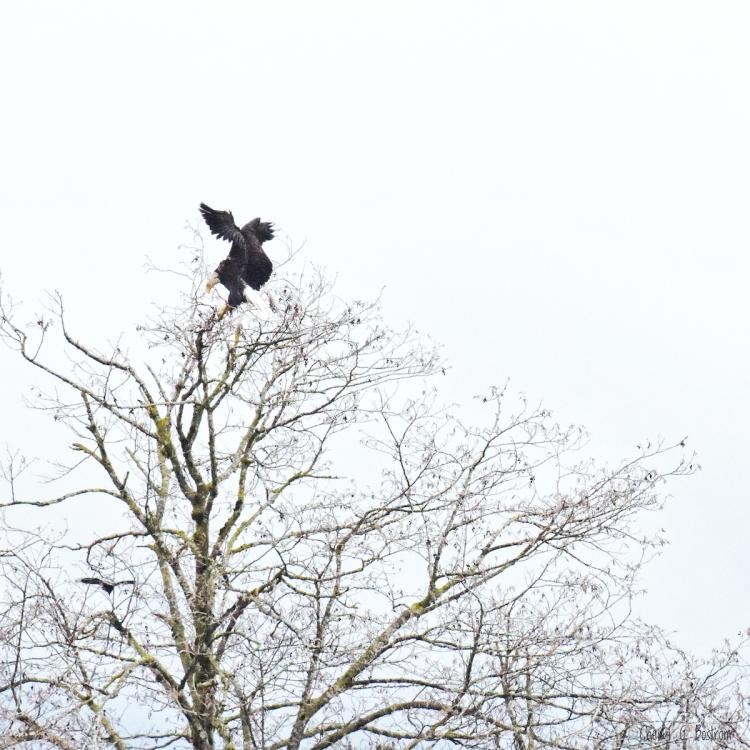 Bald-eagle-lands-in-alder-tree