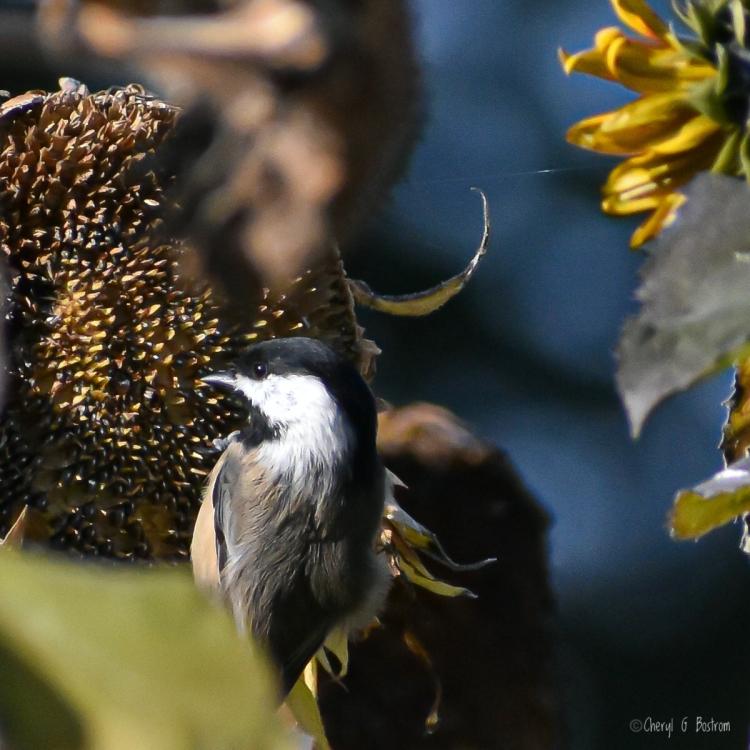 Chickadee grips sunlit sunflower head