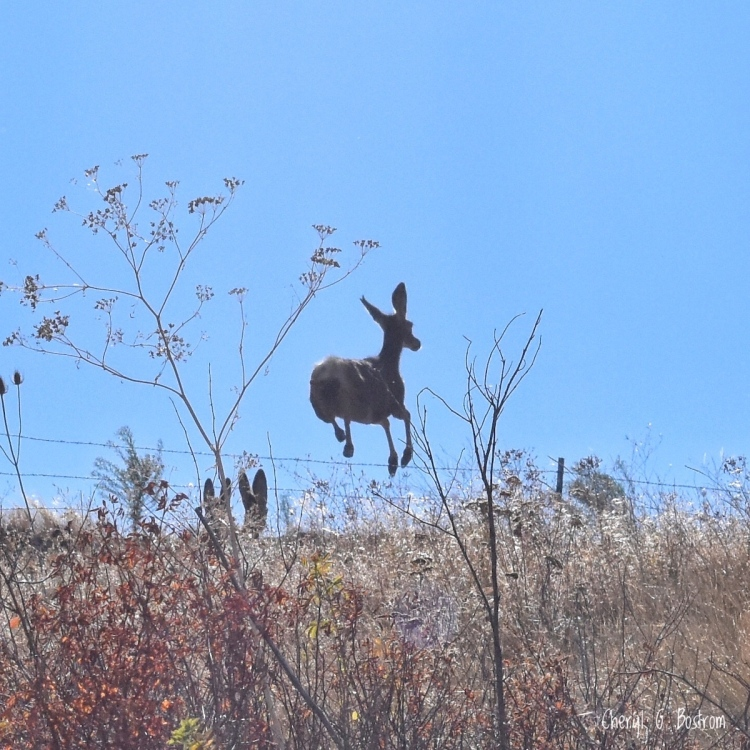Mule deer leaps barbed wire fence
